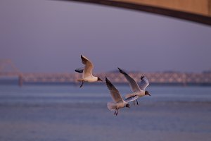 Flight of the gulls