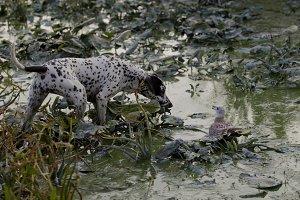 Dog on hunting