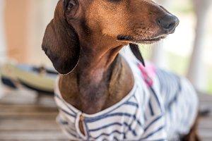 dog with gray shirt