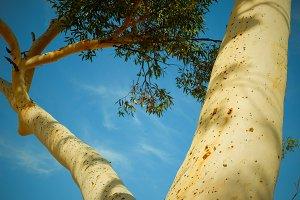 Eucalypt tree 2: Standing tall