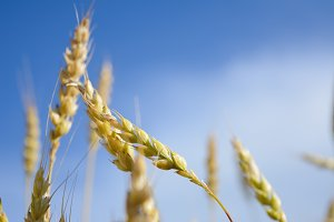 Background spikes of wheat and blue sky