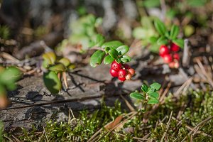 Fresh cranberries in the forest