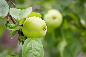 Green apples on a branch in garden