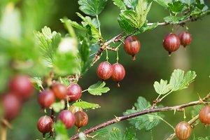 gooseberry in garden