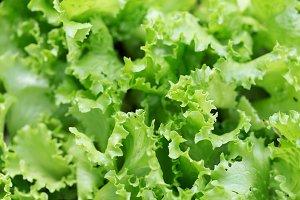 Fresh salad background at garden