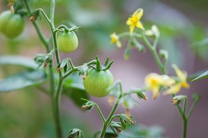 Young tomato on a branch