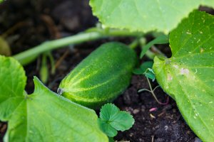 Cucumber in garden