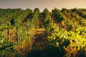 Vineyard pattern