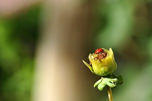 ladybug on the calyx of a flower