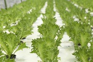 Cultivation hydroponic green vegetable in farm plant market