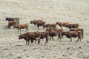 Cows on dairy farm.