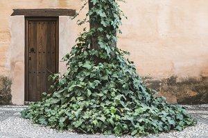 Wooden vintage door and ivy.
