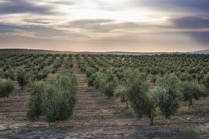 Olive trees at sunset.