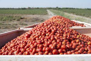 Harvester collects tomatoes