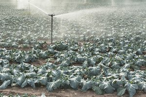 Watering cabbage with sprinklers.