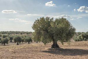 Olive farm. Olive trees