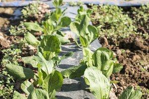 Lettuce field in rows.