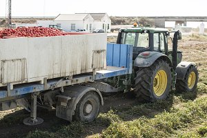 Tractor transporting tomatoes.