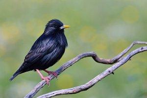 Spotless starling.