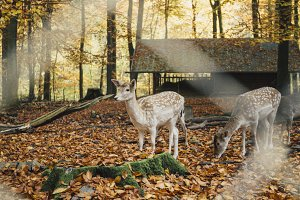Deer standing in autumnal forest