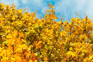 Yellow leaves with blue sky #2