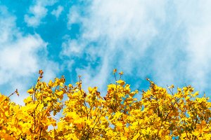 Yellow leaves with blue sky #3