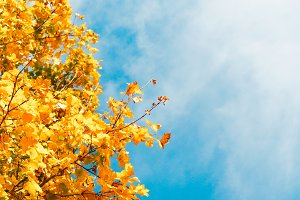 Yellow leaves with blue sky #4