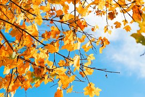 Yellow leaves with blue sky #5
