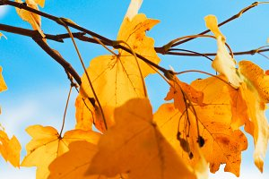 Yellow leaves with blue sky #6