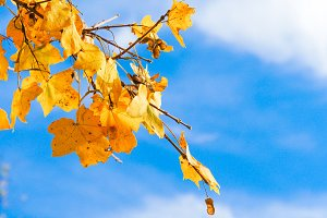 Yellow leaves with blue sky #7