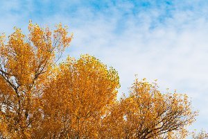 Yellow leaves with blue sky #8