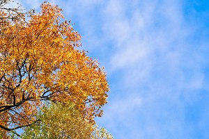 Yellow leaves with blue sky #9
