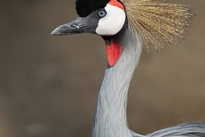 Grey Crowned Crane (Balearica regulo