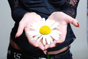 a flower of a camomile in palms