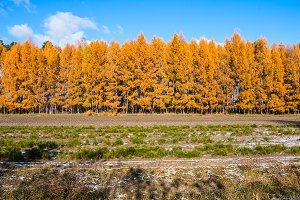 autumn forest of larch trees