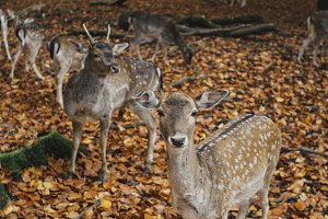Deer in autumnal forest