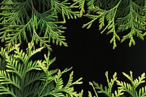 Branches of thuja. Background 3.