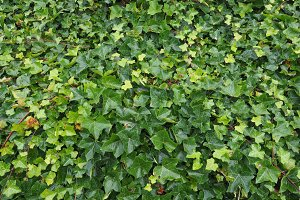 Ivy plant background