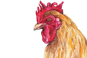 Watercolor bird cock rooster artwork