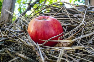 Red apple on hay closeup