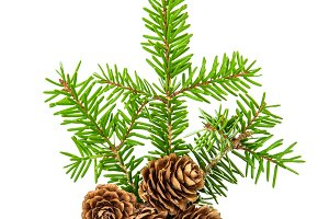 Pine sprig with spruces
