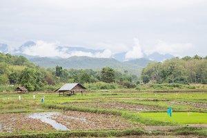 Arable farming rice