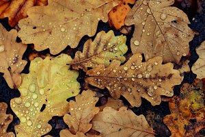 Autumn oak fallen wet leaves