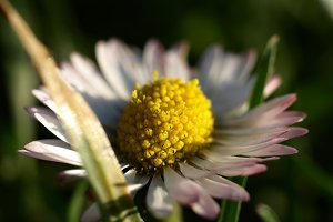 Pink-petaled daisy among the grass