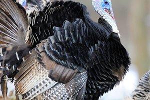 Turkey-cock