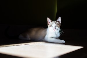 Light brown and white cat