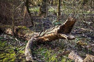 Wooden crocodile.