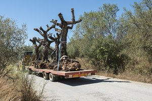 Transporting olive tree