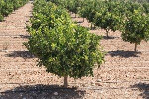Orange plantation with trees