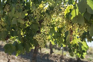White grape plantations